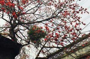 红棉花为广州市花,又名:英雄花。。