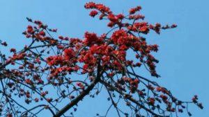 红棉花为广州市花,又名:英雄花